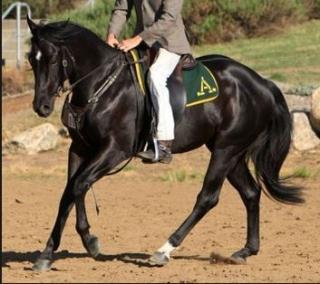 aus stock horse
